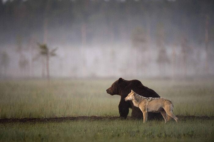 Bear-and-Wolf